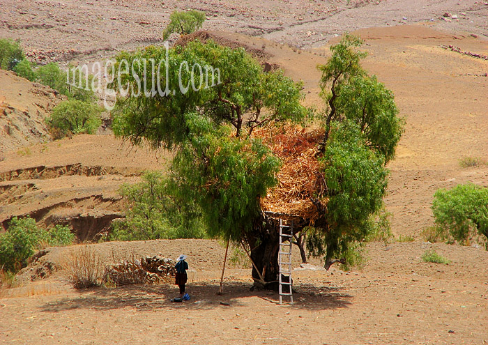 Paysanne de l'altiplano au pied de son arbre-grange, agriculture dans les Andes, Amérique du sud