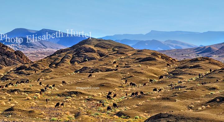 Troupeau de cgèvres dans un paysage déserique du sud Maroc
