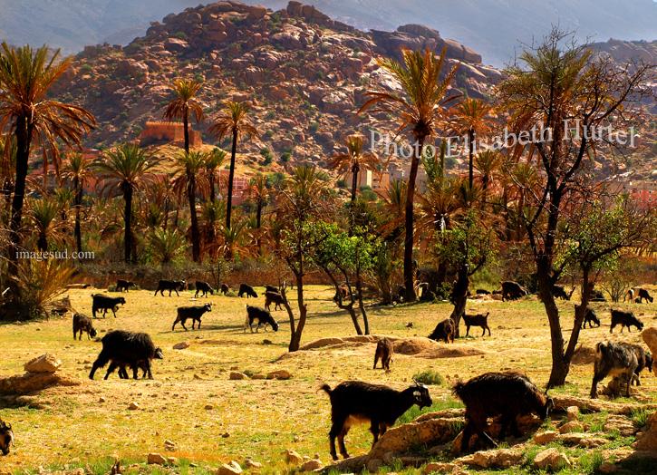Troupeau de chèvres au Maroc