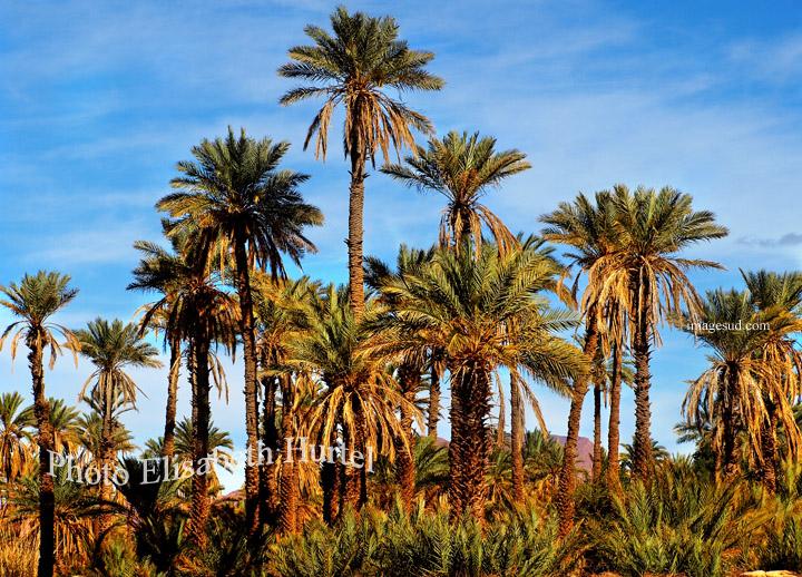 Palmeraie, palmiers-dattiers, Maroc