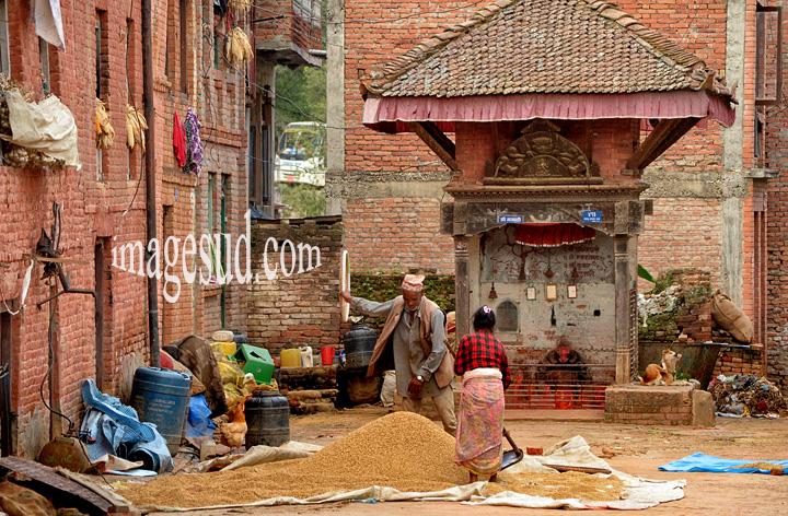 Nepal : séchage de la recolte de riz ai village de Panauti.