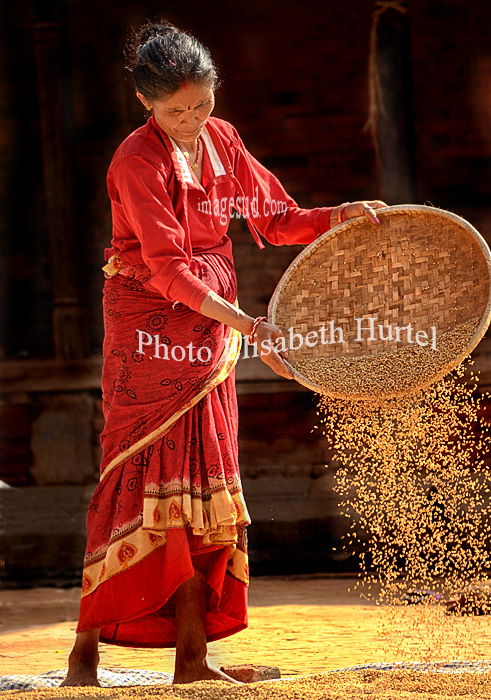 Nepal : vannage du riz. Nepal : rice harvest and winnowing.