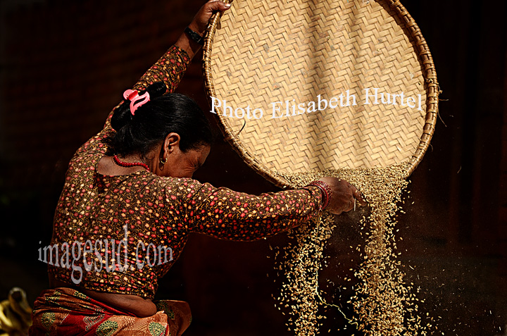 Nepal : vannage du riz. Nepal : rice harvest and winnowing