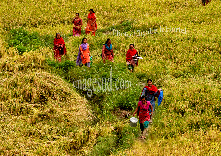 Nepal : récolte du riz. Nepal : paddy fields at harvest.