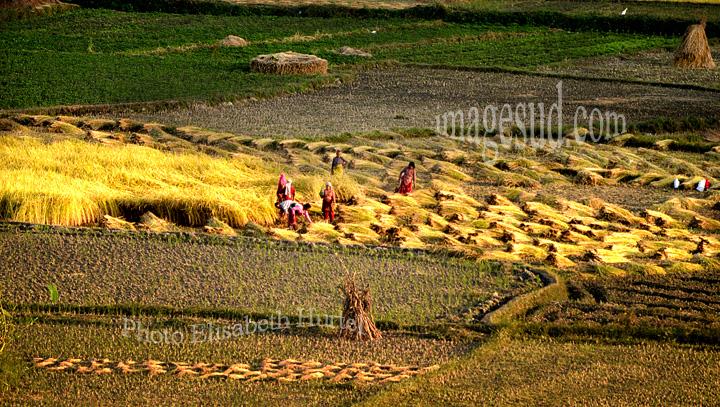 Nepal : paysage, la vallée de Katmandou au moment de la récolte du riz. Nepal : rice harvest.