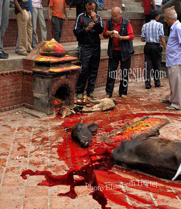Nepal : sacrifice d'animaux. Nepal : sacrifice de animals.
