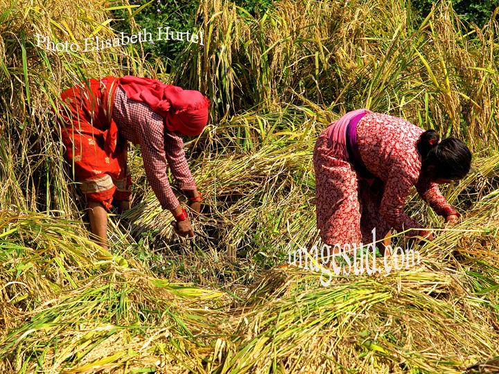 Nepal : femmes récoltant le riz à la faucille. Nepal : rice harvest.